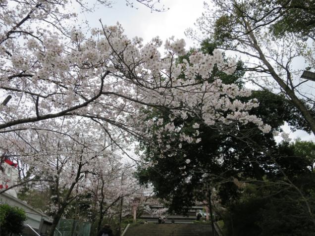 琴平公會堂前的櫻花已進入開花期!!